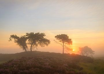 Blühende Heide des Sonnenaufgangs von Jos Pannekoek