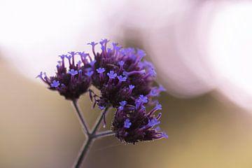 violette Sommerpracht von Tania Perneel