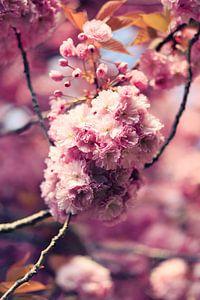 bloeiende prunus in het voorjaar van Els Fonteine