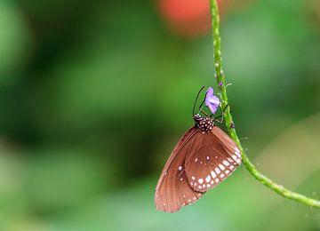 Vlinder rechts van Krijn de Haas