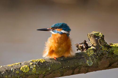 Ijsvogel op een tak. van