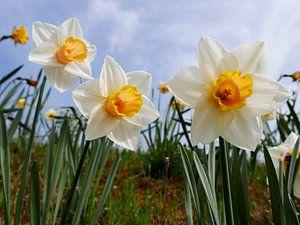 Daffodils van
