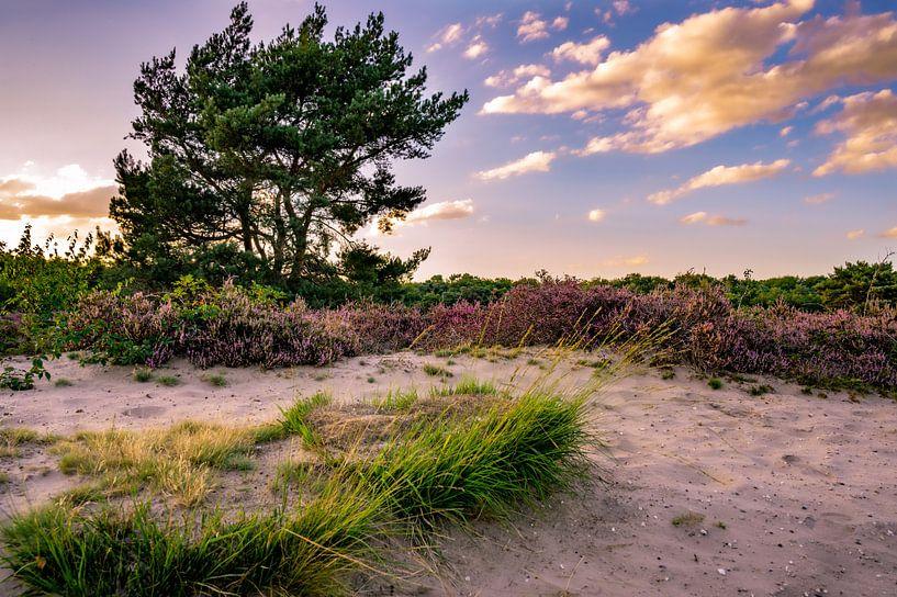 """Blühendes Heidekraut in """"de Maashorst"""" in den Niederlanden von Kevin Pluk"""