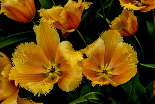 Tulpen in het groen van