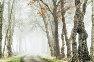 Akazien-Allee im Nebel
