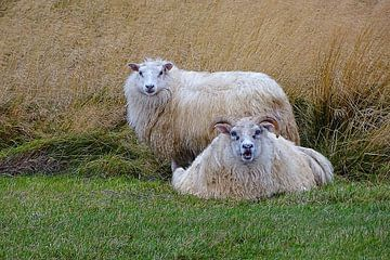 Isländisches Schaf. von Yvonne Stroomberg
