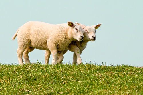 Knuffelende schapen van
