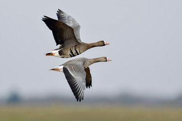 Blässgaense * Anser albifrons *, Paar im Flug von wunderbare Erde