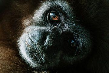 Recht in de prachtige ogen van een gibbon van Pepijn van der Putten