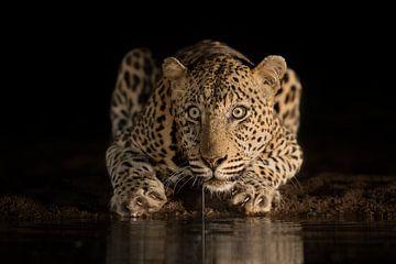 Nachts trinkender Leopard von
