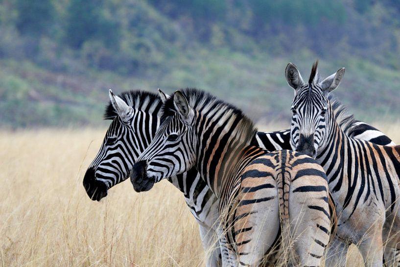 Zebra's in Swaziland van René Meester