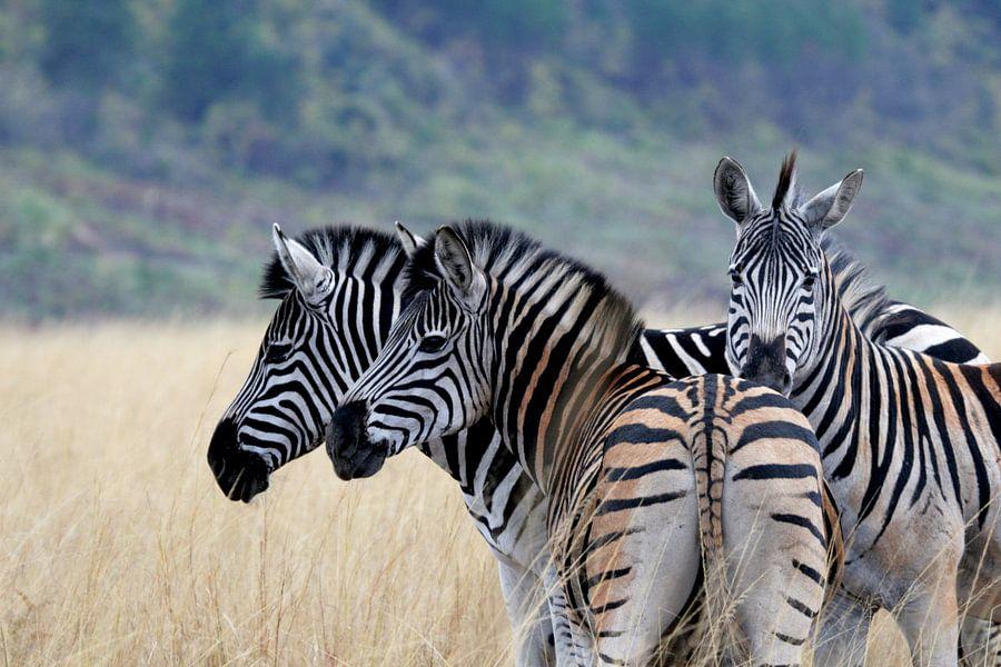 Zebra's in Swaziland