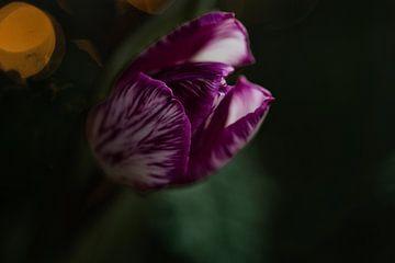 lila Tulpe mit Streifen von Lindy Schenk-Smit