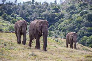 Trio van olifanten Kleur van Roelinda Tip