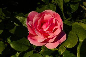 De perfecte roos von Sebastiaan van Hattum