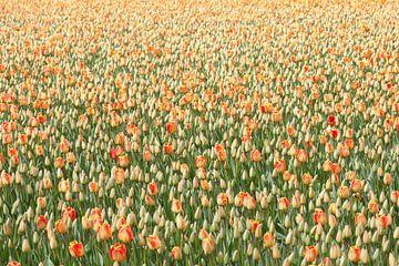 Tulpen van Paul Heijmink