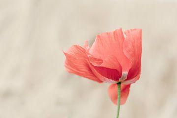 poppy in the wind van Jaco Verheul