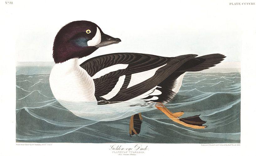 IJslandse Brilduiker van Birds of America