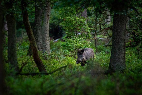 Everzwijn in het bos