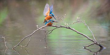 IJsvogel paring van