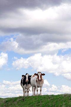 koeien samen op de dijk van