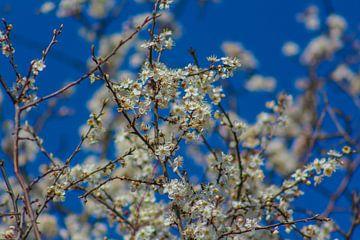 Bloesem op  een mooie zonnige lentedag van Maarten Salverda