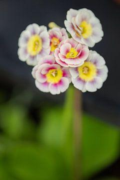 Ohrmuschelpflanze von Tot Kijk Fotografie: natuur aan de muur