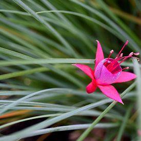 Fuchsia flower von Carina Diehl