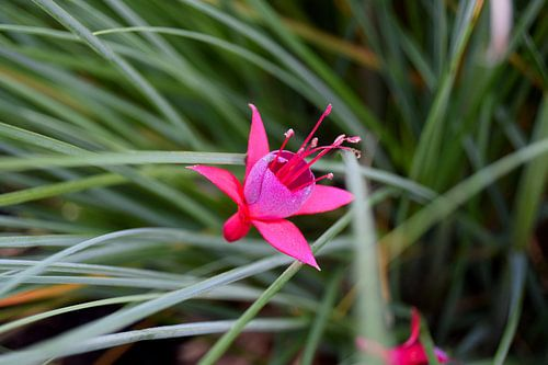 Fuchsia bloem