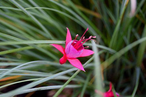 Fuchsia flower sur