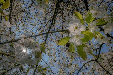 Bloesem in zonlicht von Moetwil en van Dijk - Fotografie