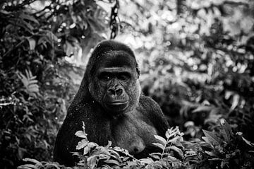 Gorilla van Roger te Wierike