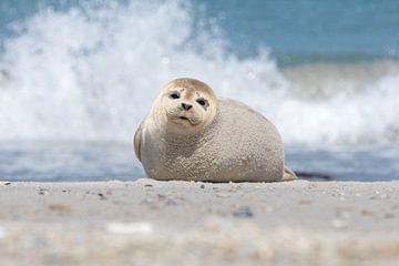 Ontroerende blik van een jonge zeehond sur