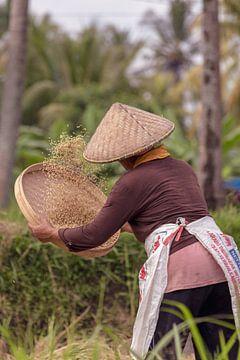 Het oogsten van de rijst in de rijstvelden van Ubud, Bali van Jeroen Langeveld, MrLangeveldPhoto