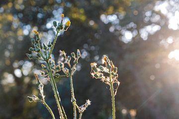 Bloemen in zonsondergang van Tom Rijpert
