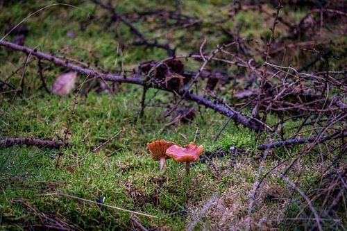 Paddenstoel in het bos van Meint Brookman