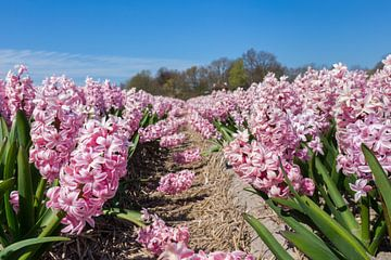 Blumenzwiebelfeld mit rosa Hyazinthen und blauem Himmel von Ben Schonewille