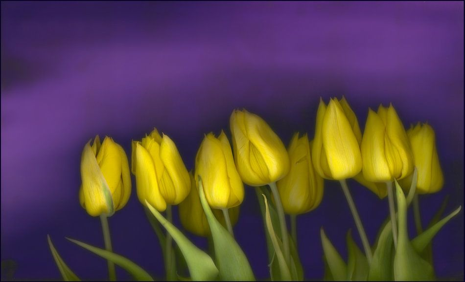 Drawn By Nature (gele tulpen #001)