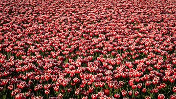 Een veld vol rood witte tulpen van Studio de Waay