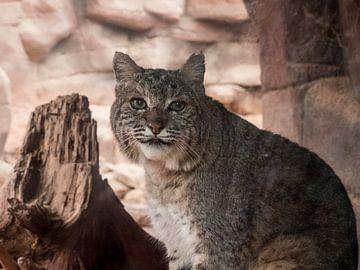 Rode Lynx : Koninklijke Burgers' Zoo van Loek Lobel