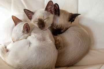 Siamese Kittens van Mi Vidas Fotografie