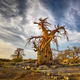 Baobab bomen in Botswana van Chris Stenger