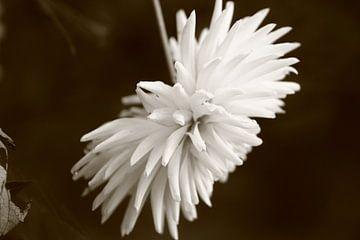 kleurloze bloem van milan willems