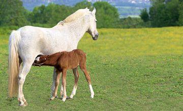 Pferd mit Futterfohlen von YesItsRobin
