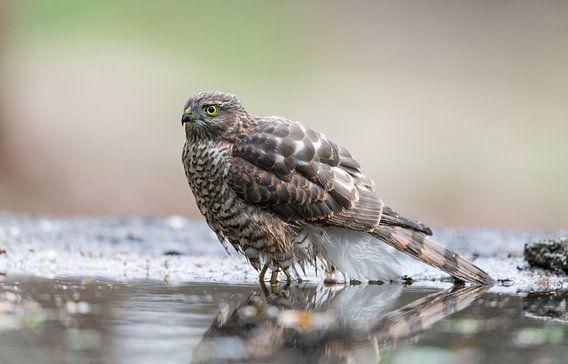 Sparrow hawk / Sperwer!