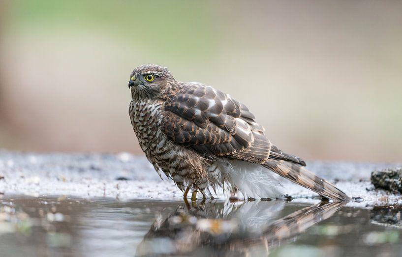 Sparrow hawk / Sperwer! van Robert Kok