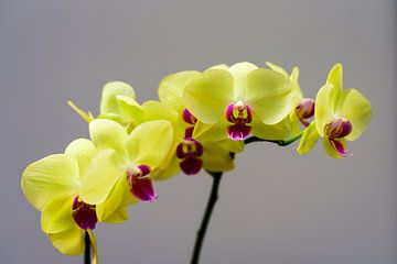 Orchidee von Wilko Ketelaar