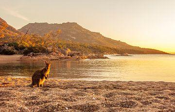 Kangoeroe in het laatste licht op Tasmanië van Corno van den Berg