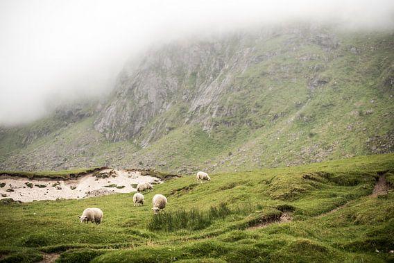 Schapen op een groene mistige berg op de Lofoten, Noorwegen, fotoprint