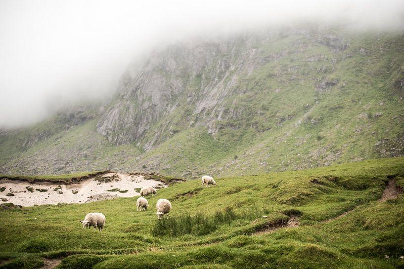 Schapen op een groene mistige berg op de Lofoten, Noorwegen, fotoprint van Manja Herrebrugh - Outdoor by Manja
